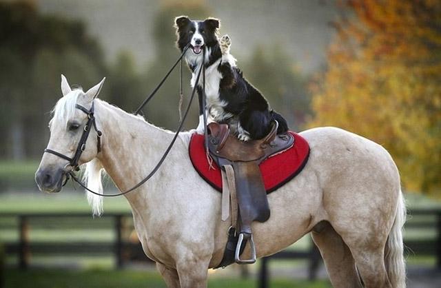 border collie addestratore di cavalli