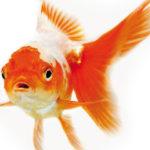 Pesce rosso rapito, interviene polizia