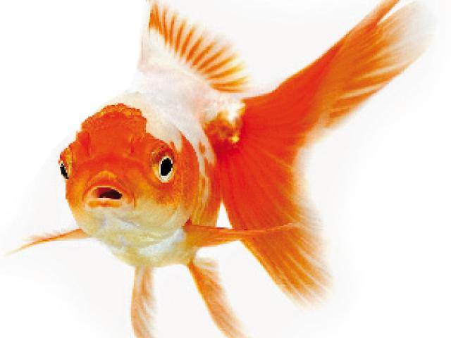 Pesce rosso rapito interviene polizia video fanpage for Laghetto giapponese
