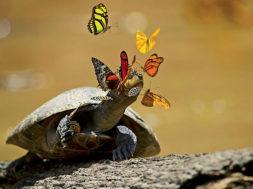 In Amazzonia le farfalle si nutrono di lacrime di tartaruga